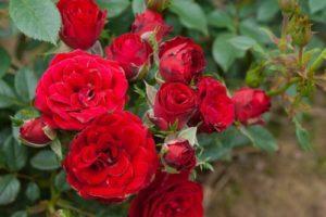 Описание розы сорта Сантана и правила посадки и ухода в открытом грунте