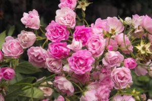 ТОП 7 сортов кустовых роз, их посадка и уход в открытом грунте для новичков