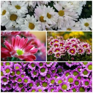 Описания и особенности видов и сортов хризантем, правила выращивания