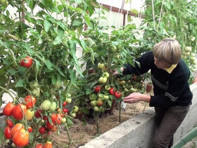 много томатов