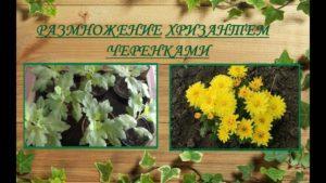 Сроки и способы размножения хризантем в домашних условиях, их выращивание