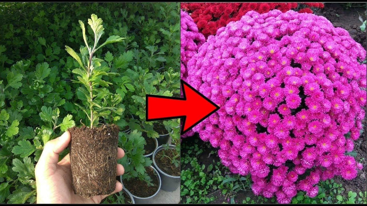 черенки хризантема