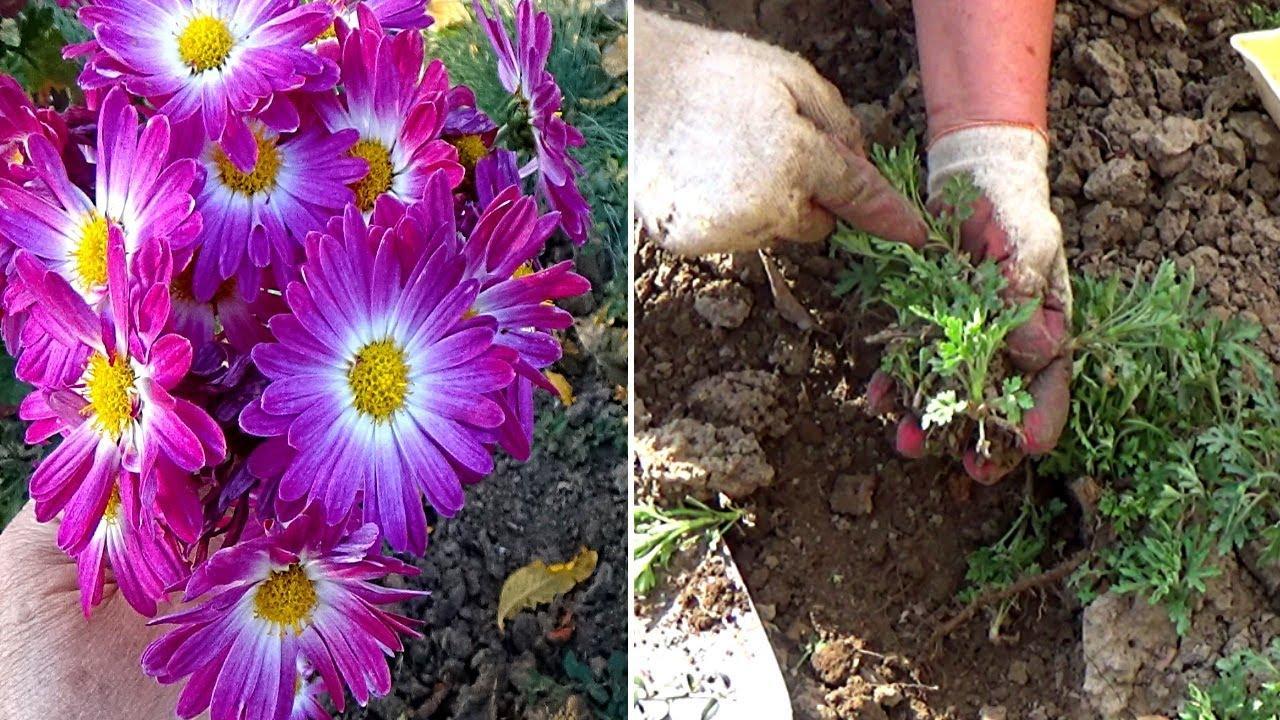 черенки цветов