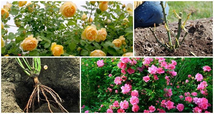 посадка роз
