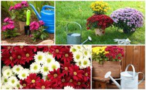 Почему хризантемы иногда не цветут в открытом грунте и как ускорить процесс