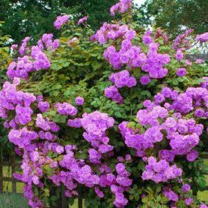 Выращивание плетистой розы и топ-10 сортов, посадка и уход в открытом грунте