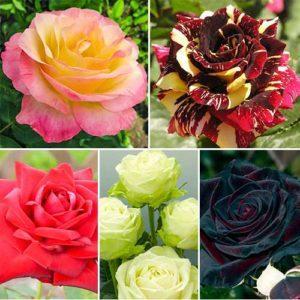Топ-16 лучших сортов чайно-гибридных роз, посадка и уход в открытом грунте