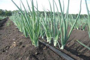 Описания топ-13 гербицидов для лука и какое средство лучше приобрести