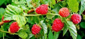 Описание топ-10 гербицидов от сорняков на малине и какой лучше выбрать