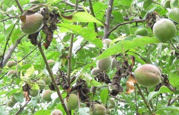 спеют персики