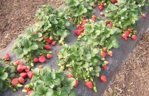 Чем лучше обработать сорняки на клубнике, топ-3 гербицида и другие способы