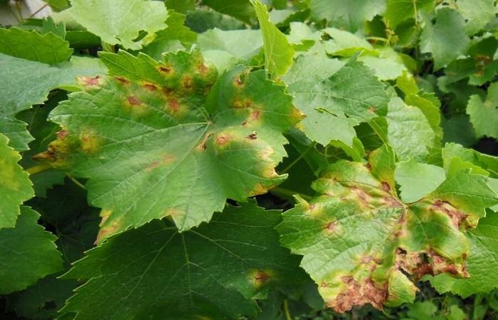 мильдь на листьях