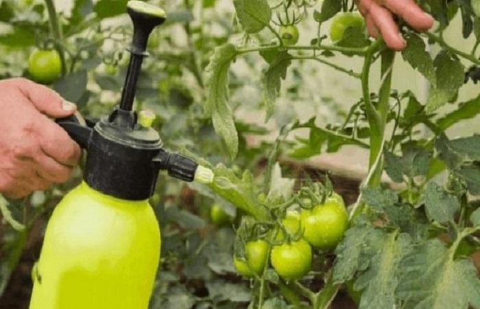 зеленый томат