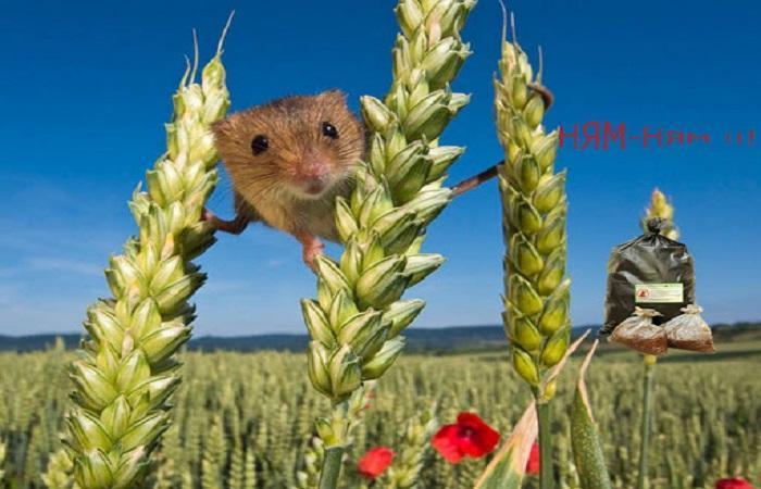 мыша на пшенице