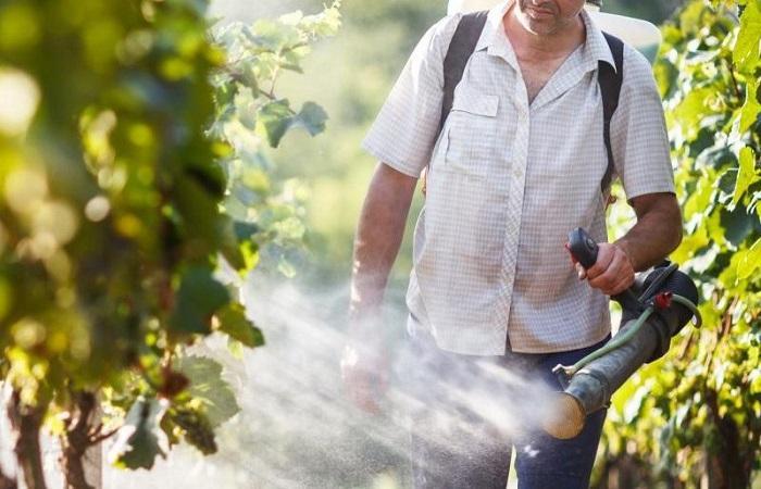 грядки винограда