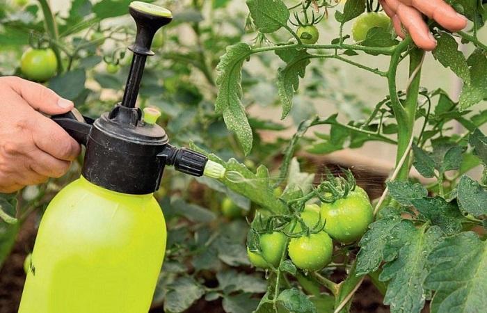 опрыскивать томаты