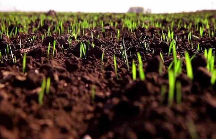 выходы пшеницы