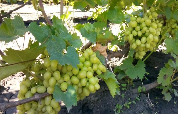 растет виноград