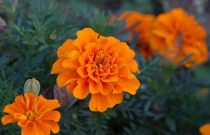Бархатцы цветущие
