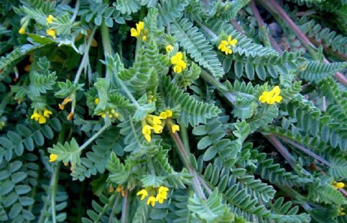 Сераделла растение