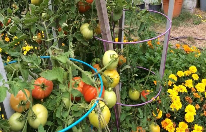 томаты подвязаны